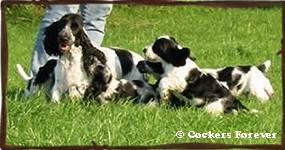 cherche saillie pour chien